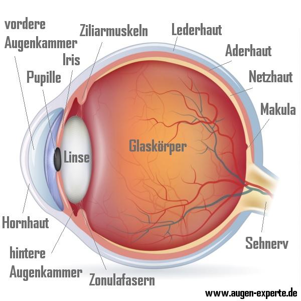 Anatomie und Aufbau des menschlichen Auge erklärt
