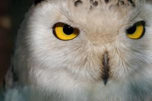 gelbe Lederhaut in den Augen einer Schneeeule (Symbolbild)